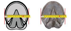 pata szélességi mérése patacipőhöz
